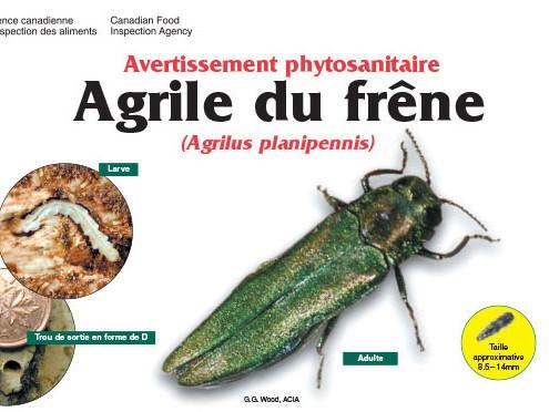 Agrile du frene_photo